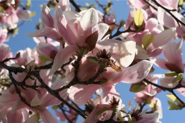 les magnolias d'Antibes