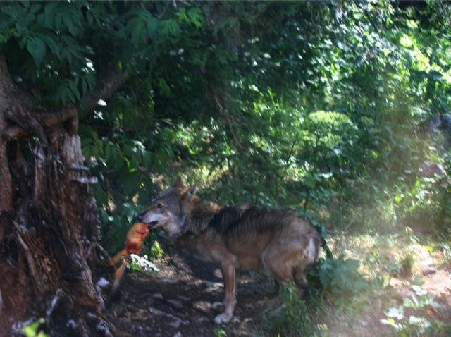 Repas d'un loup du Parc Alpha.