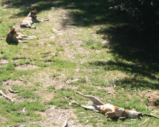Les loups du Parc Alpha.