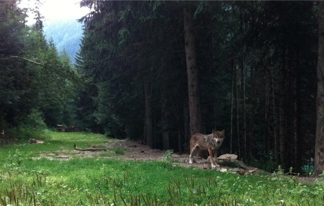 Loup au Parc Alpha.