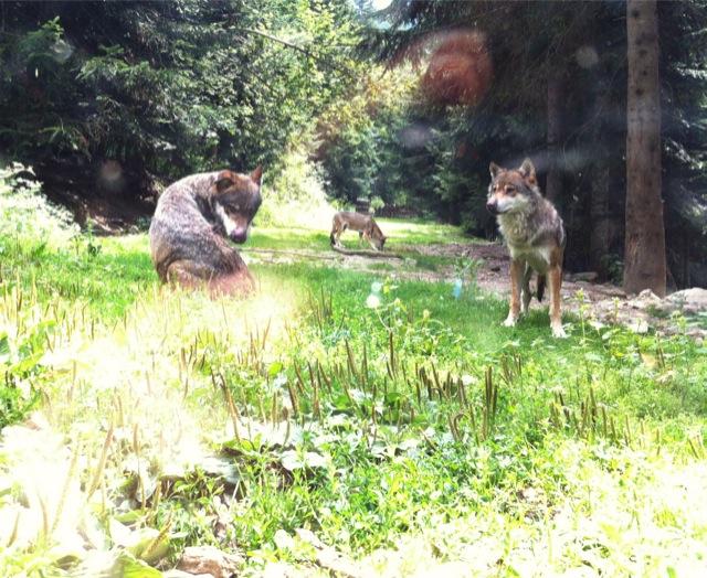 Les loups du Parc Alpha au Boréon, dans le Mercantour.