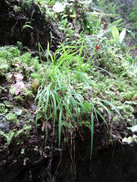 Carex de la randonnée dans le vallon obscur du Donaréo à Nice