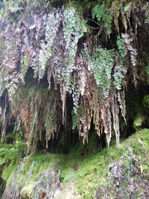 Fougères pétrifiées par l'eau calcaire de la randonnée dans le vallon obscur du Donaréo à Nice