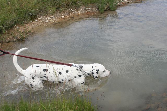 dalmatien Domino à Gréolières.