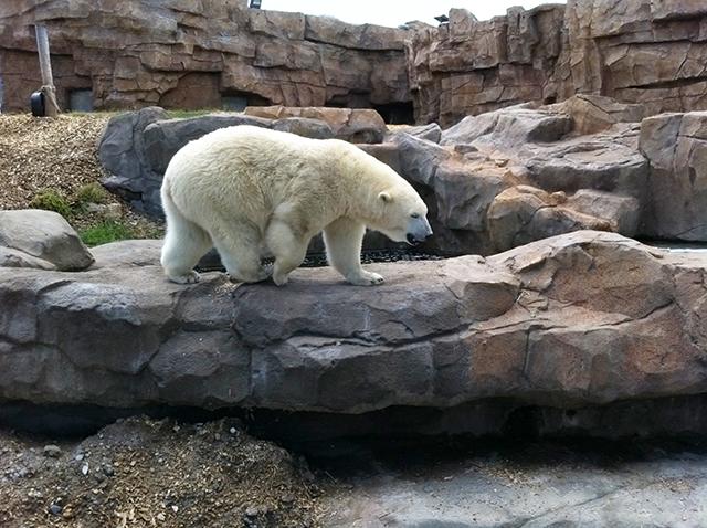 Ours polaire de Marineland cet ete