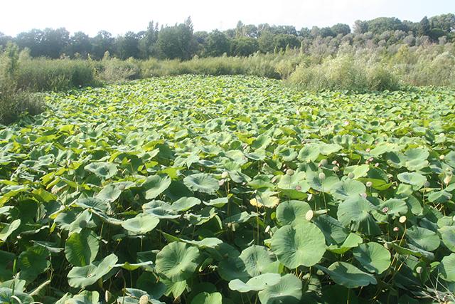 Lotus géants de l'étang de fontmerle.