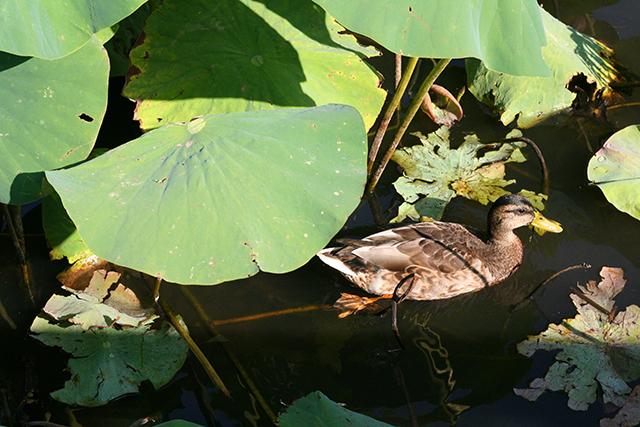 Canard et lotus géants de l'étang de Fontmerle.