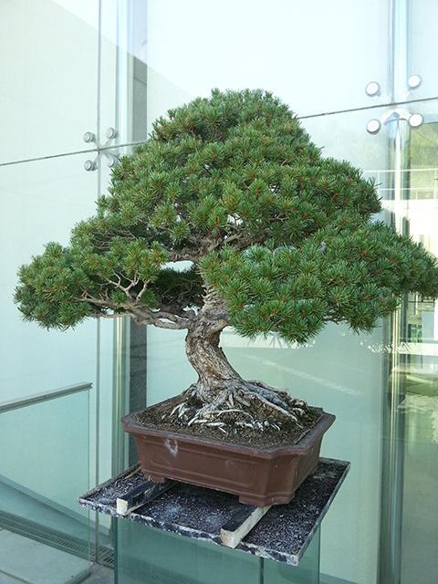 bonsaï du musée des Arts Asiatiques de Nice