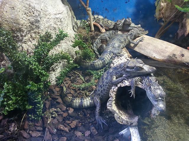 bébés crocodiles du Parc Phoenix à Nice