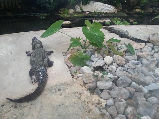 crocodiles du Parc Phoenix à Nice