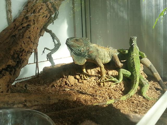 iguanes du Parc Phoenix à Nice