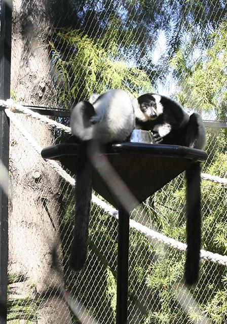 lémuriens du Parc Phoenix à Nice