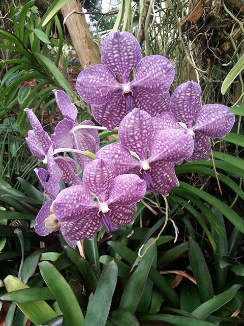 orchidées du Parc Phoenix à Nice