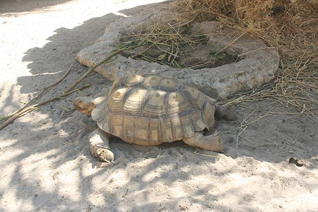 tortue géante du Parc Phoenix à Nice