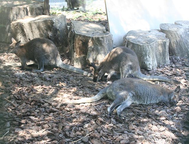 wallaby du Parc Phoenix à Nice