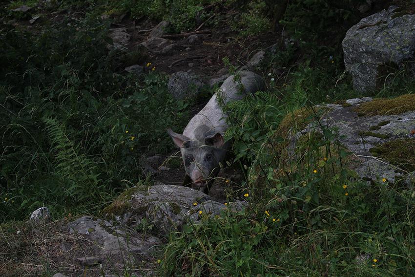 Cochon du Boréon.