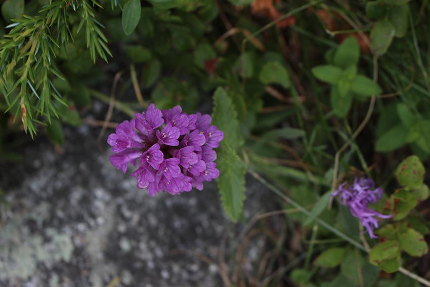 Fleur de montagne, dans le Boréon.