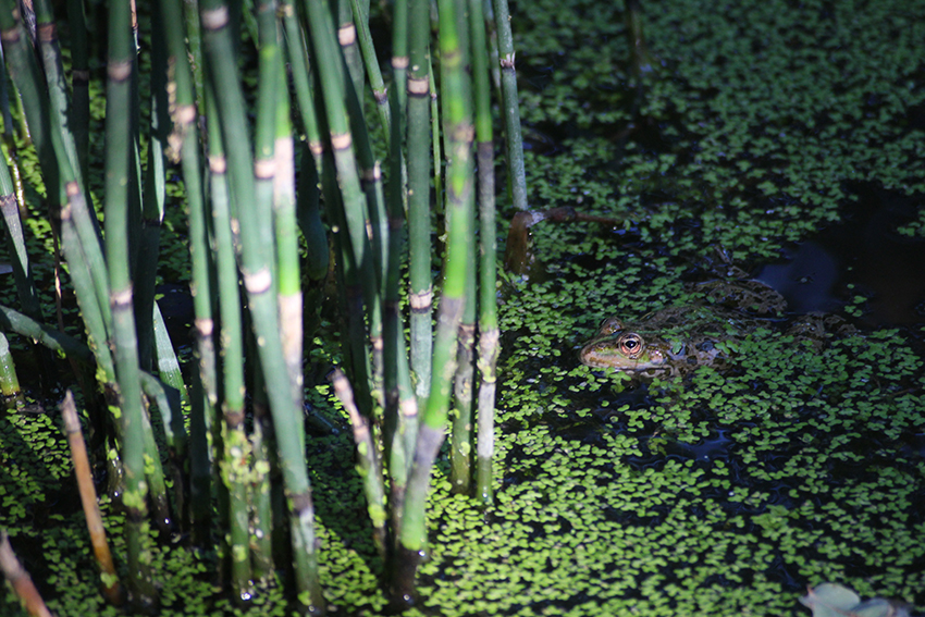 Crapaud du festival international des jardins à Chaumont sur Loire.