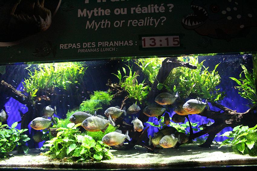 Aquarium des piranhas, dans le musée océanographique de Monaco.
