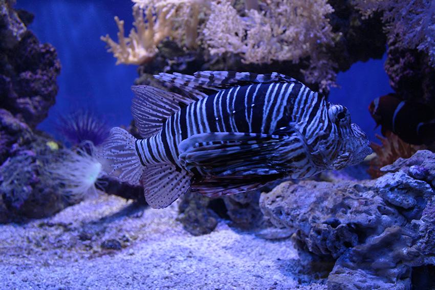 Rascasse du musée océanographique de Monaco.