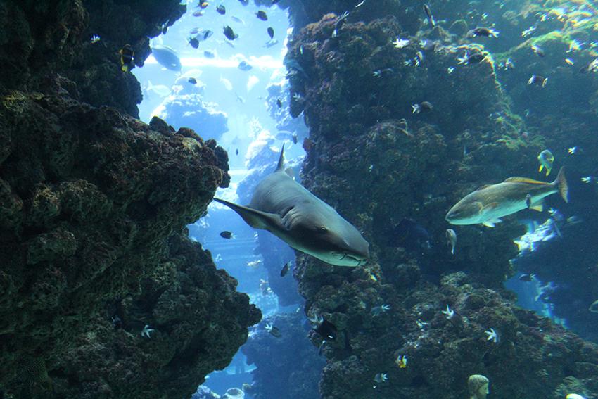 Requin du musée océanographique de Monaco.