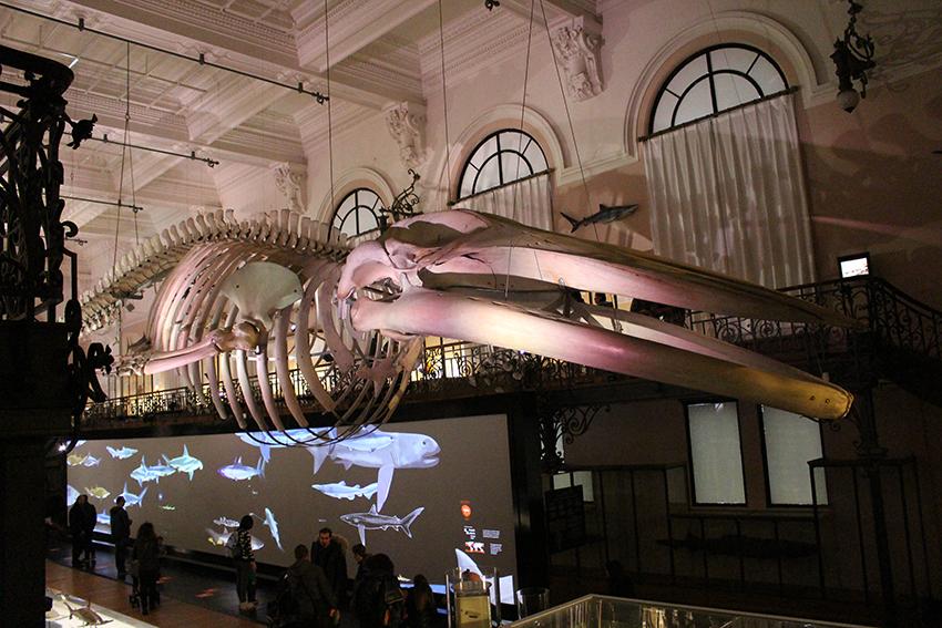 Squelette de baleine du musée océanographique de Monaco.