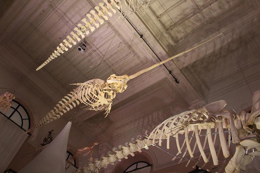 Squelette de narval, au musée océanographique de Monaco.