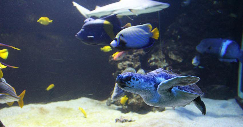 Tortue du musée océanographique de Monaco.