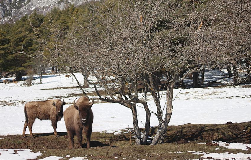 Bisons de la Réserve des Monts d'Azur, à Thorenc.