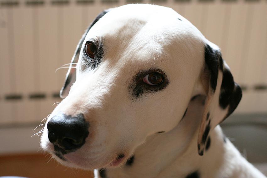 Domino, notre dalmatien - chien adopté.