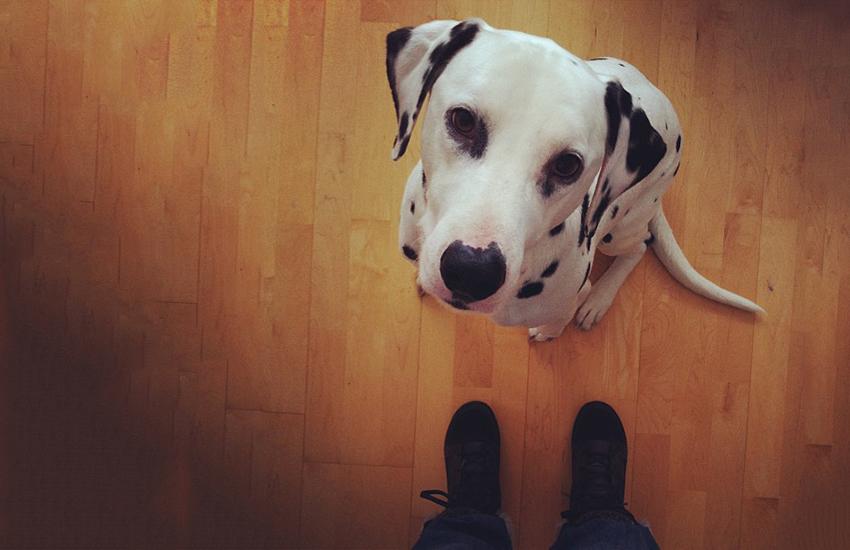 Questions à se poser avant d'adopter un chien : icic Domino notre dalmatien.