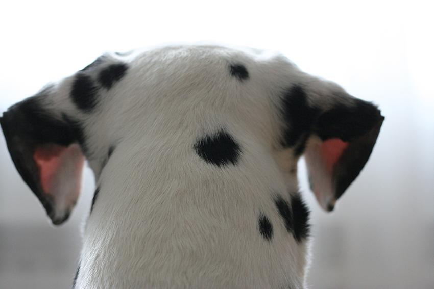 Adopter un chien : Domino, notre dalmatien.