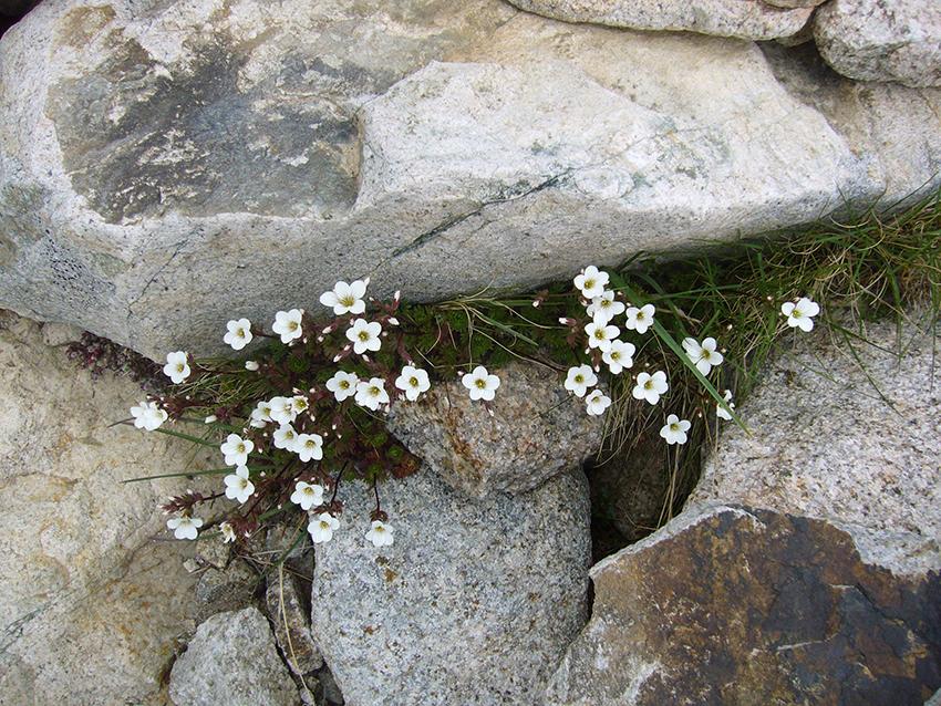 Jolies fleurs sur la randonnée de la vallée de la restonica.