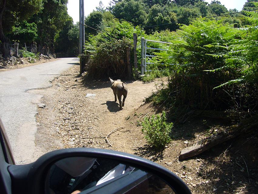 Cochon corse au bord de la route.