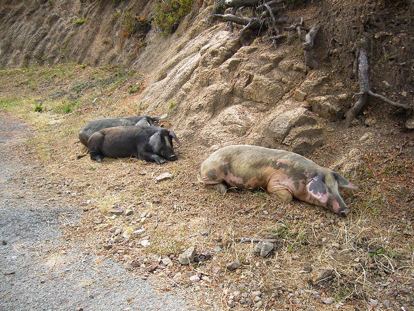 Cochons corses, au bord d'une route.
