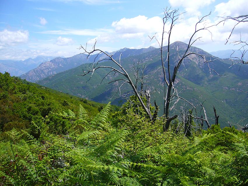 Champ de fougères sur le Monte Aragnascu, en Corse.