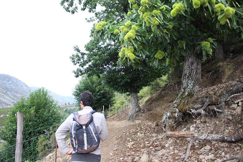 Châtaigniers le long de la randonnée vers le lac de Creno, en Corse.