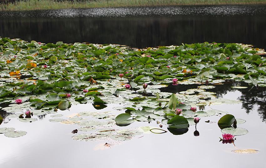 Nénuphars du lac de Creno, en Corse.