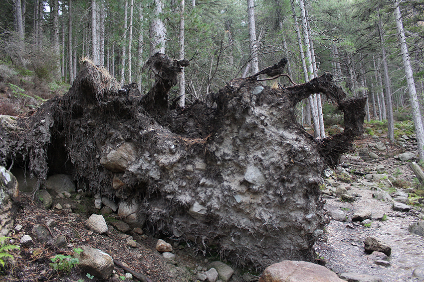 Forêt de pins Laricio autour du lac de Creno, en Corse.