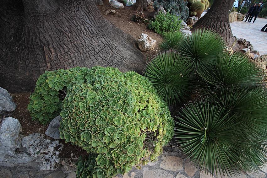 Cactées du jardin exotique de Monaco.