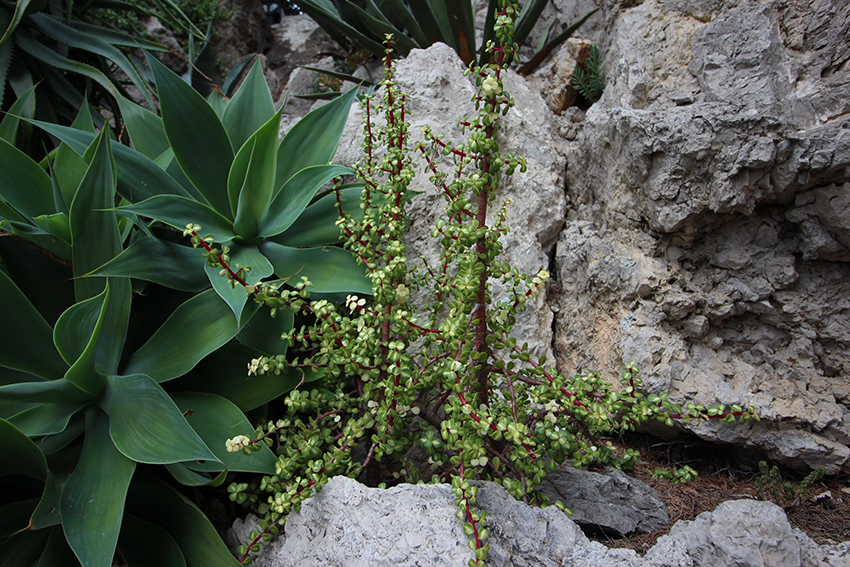 Plantes grasses du jardin exotique de Monaco.