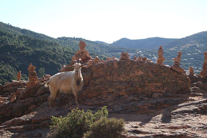 Cairns et chèvre présents sur la randonnée du sentier muletier des calanques de Piana, en Corse.