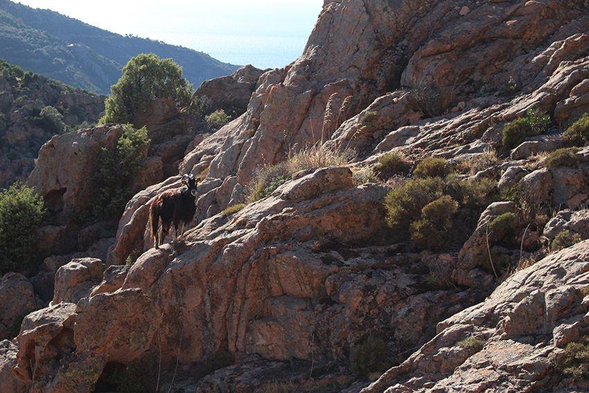 Chèvre présente sur la randonnée du sentier muletier des calanques de Piana, en Corse.
