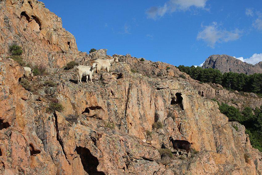 Chèvres présentes sur la randonnée du sentier muletier des calanques de Piana, en Corse.