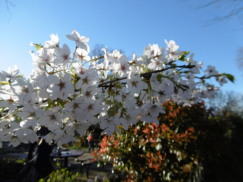 Fleurs dans le Queen Mary's Garden de Regent's Park à Londres.