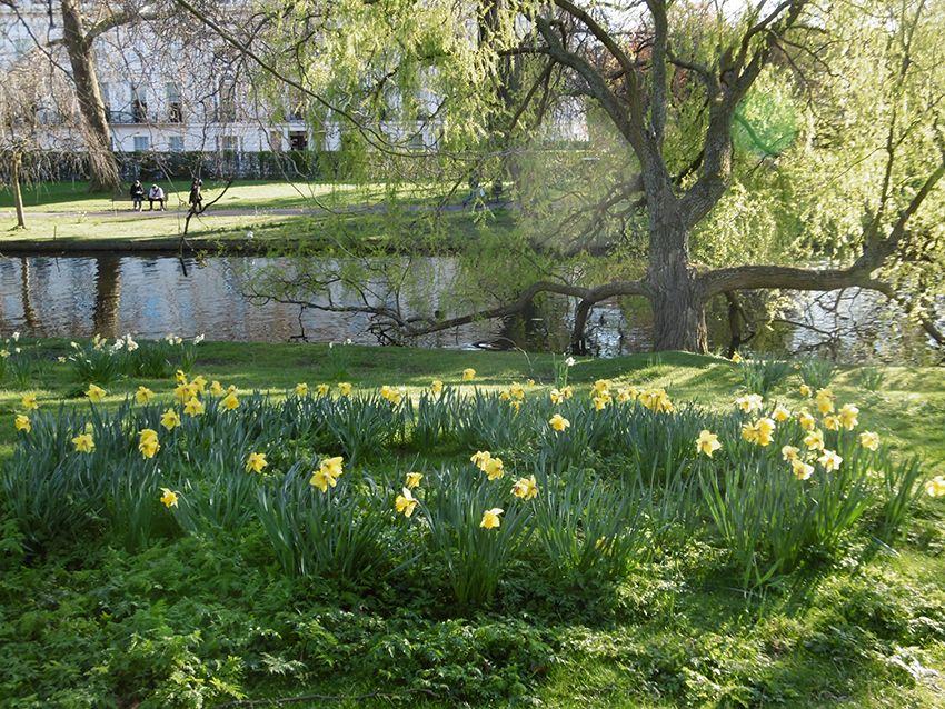 Jonquilles de Regent's Park à Londres.