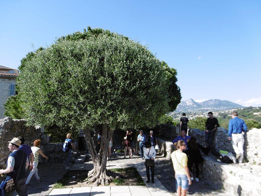 Joli olivier à Saint-Paul de Vence.