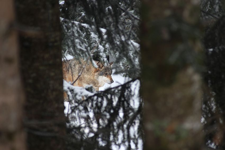 Loup du parc Alpha en hiver, sous la neige.