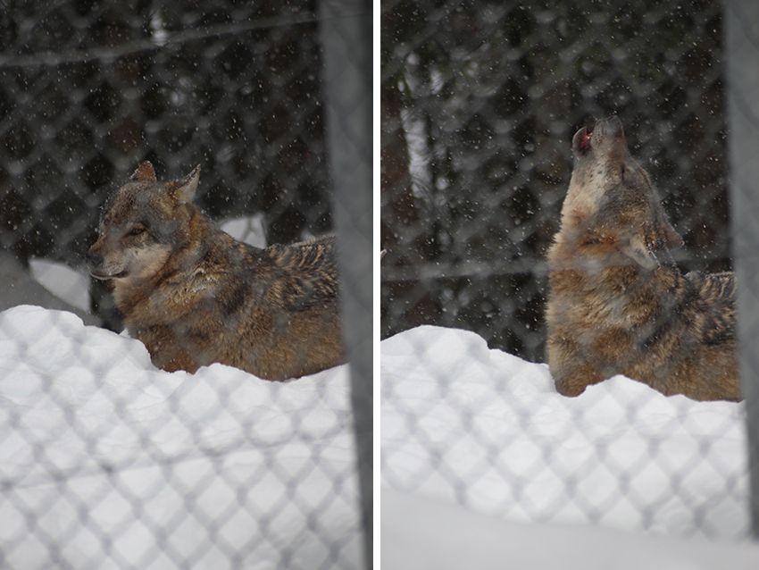 Hurlement d'un loup du parc Alpha en hiver, sous la neige.