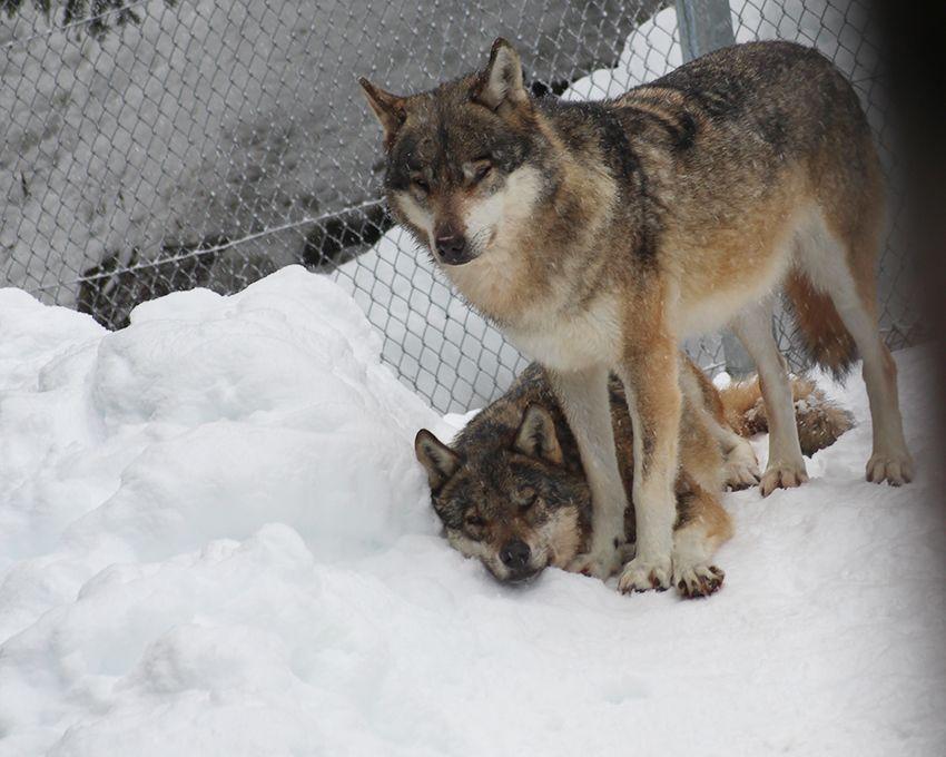 Les loups du parc Alpha en hiver, sous la neige.